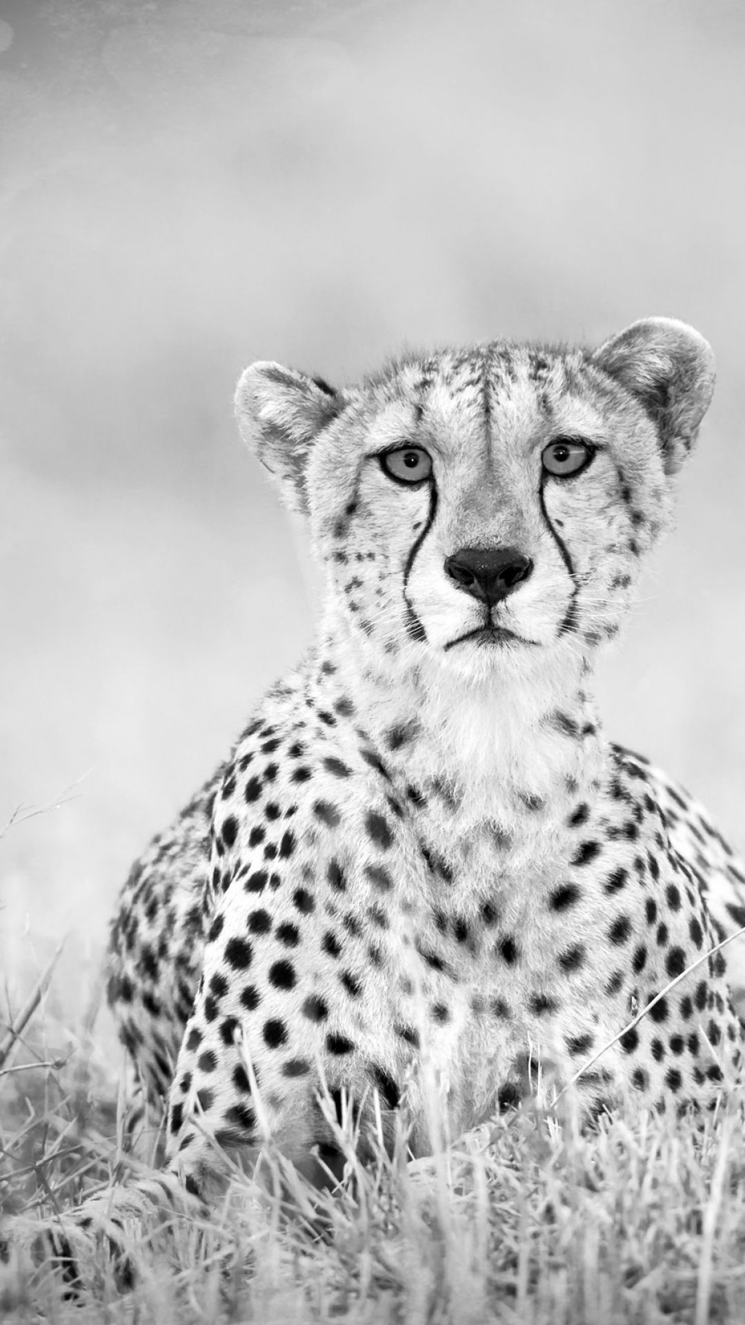 Iphone 6 Plus Animal Cheetah Wallpaper Id 83502 Cheetah Wallpaper Cheetah Background Animals