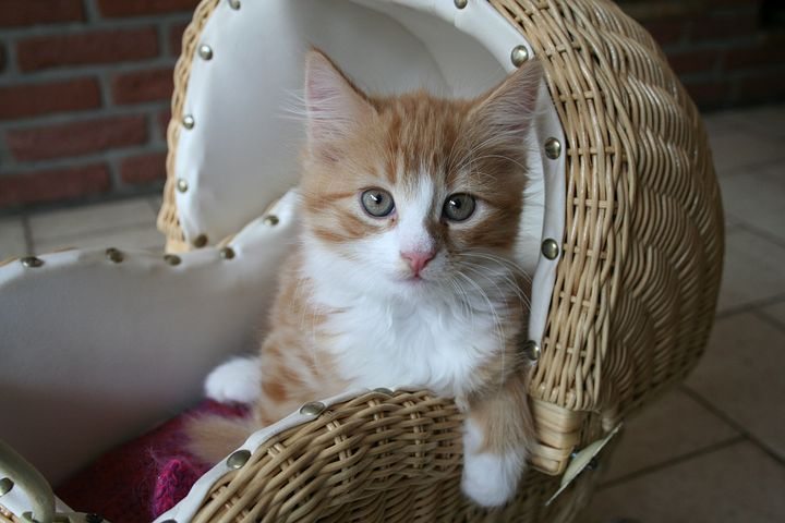 Kitten cat baby fluffy baby cat sweet domestic cat baby cat pmusecretfo Image collections