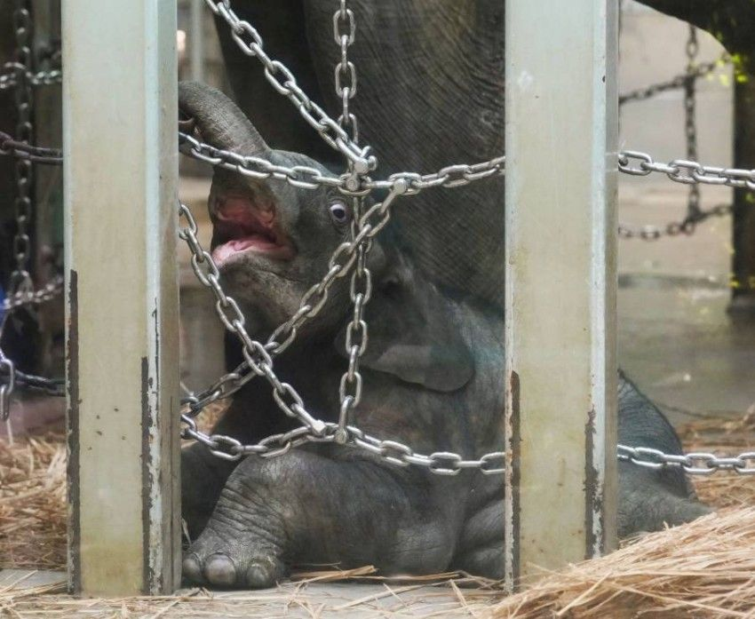 أقدم حديقة حيوان في اليابان تشهد ولادة أول فيل منذ 138 عاما Elephant Zoo Tokyo