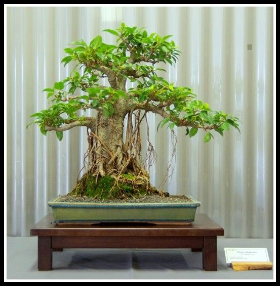 Ficus Rubiginosa Port Jackson Fig 5 Years In Training Indoor Bonsai Bonsai Tree Indoor Bonsai Tree