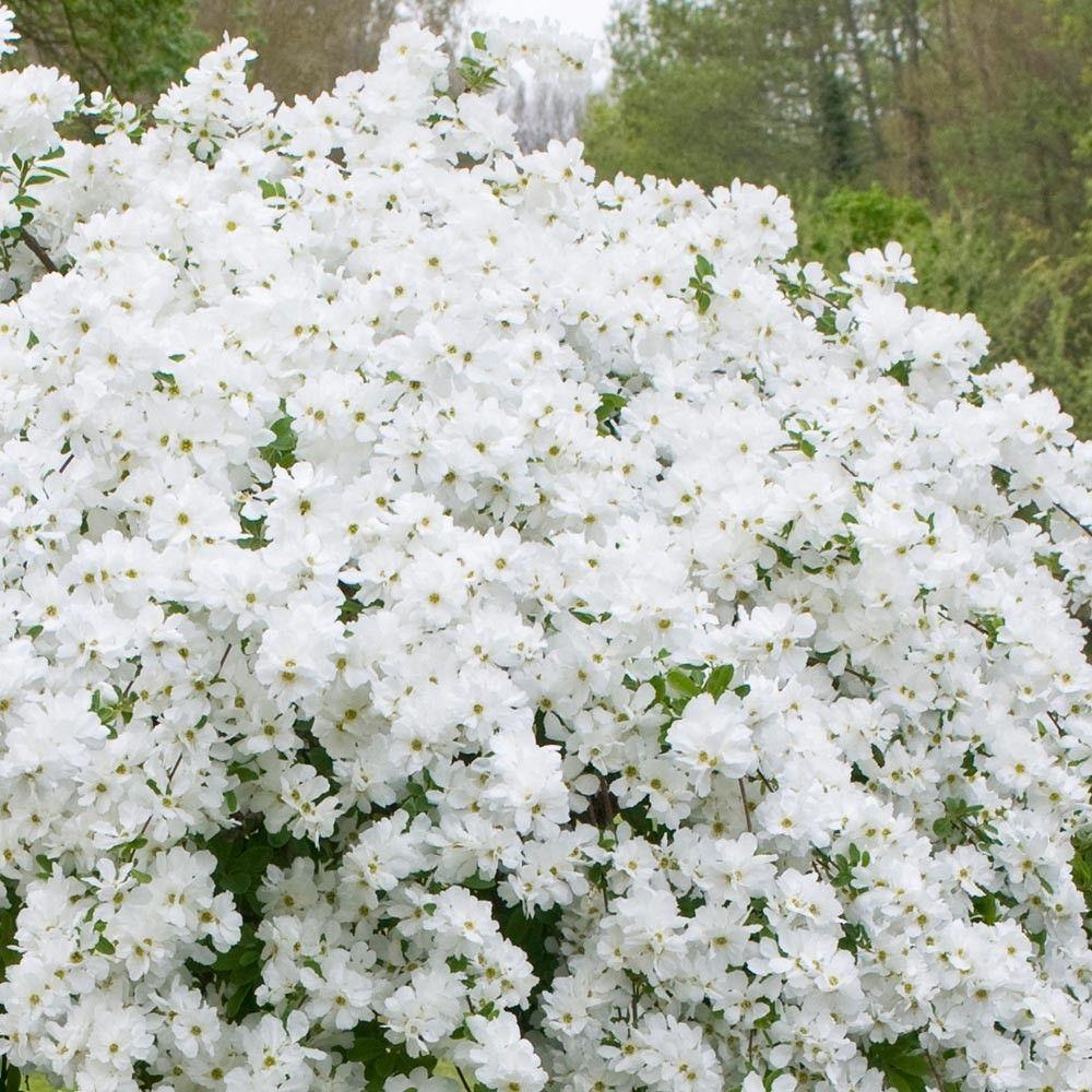 Exochorda Macrantha The Bride Garden Pinterest Flowering