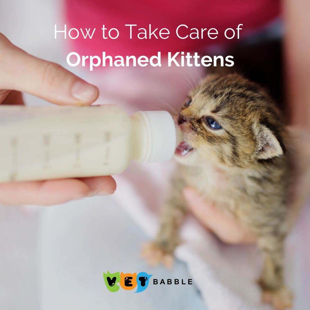 How To Take Care Of Orphaned Kittens Vetbabble In 2020 Kittens Kitten Care Newborn Kittens