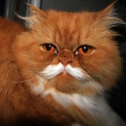 Ginger Persian With Moustache