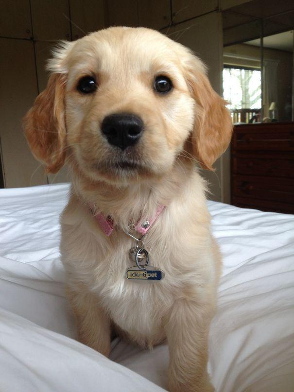 Cutie Pie Goldenretriever Retriever Puppy Baby Dogs Puppies