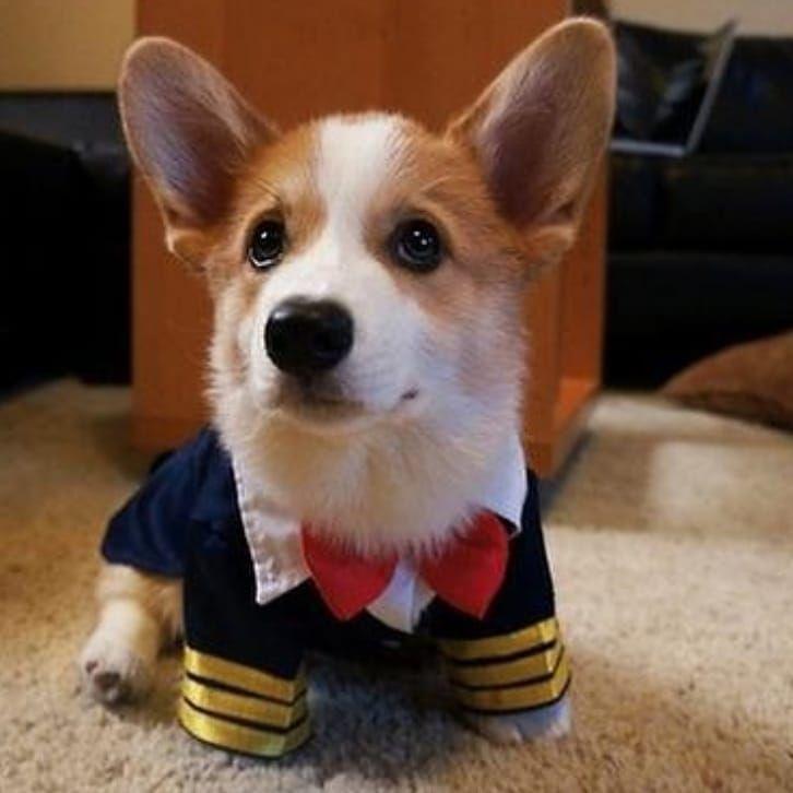Pet dog or cat pilot fancy dress outfit. Perfect for Halloween or & Captain Corgi! Pet dog or cat pilot fancy dress outfit. Perfect for ...