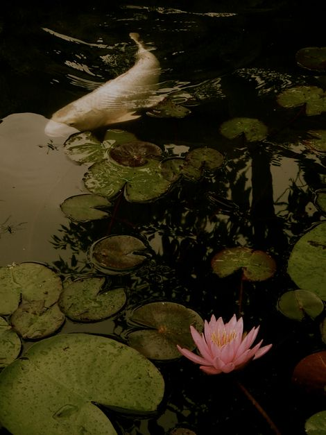 Misato Tanaka, 幽花 睡蓮に鯉 | Koi meets water lily