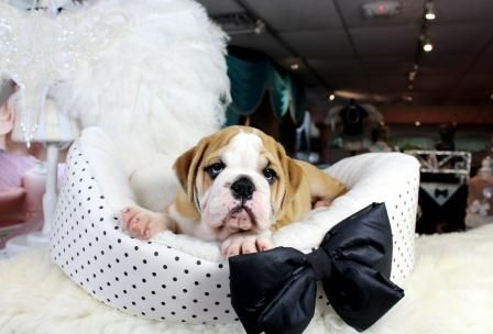 English Bulldog Puppies For Sale We Finance 90 Get Approved