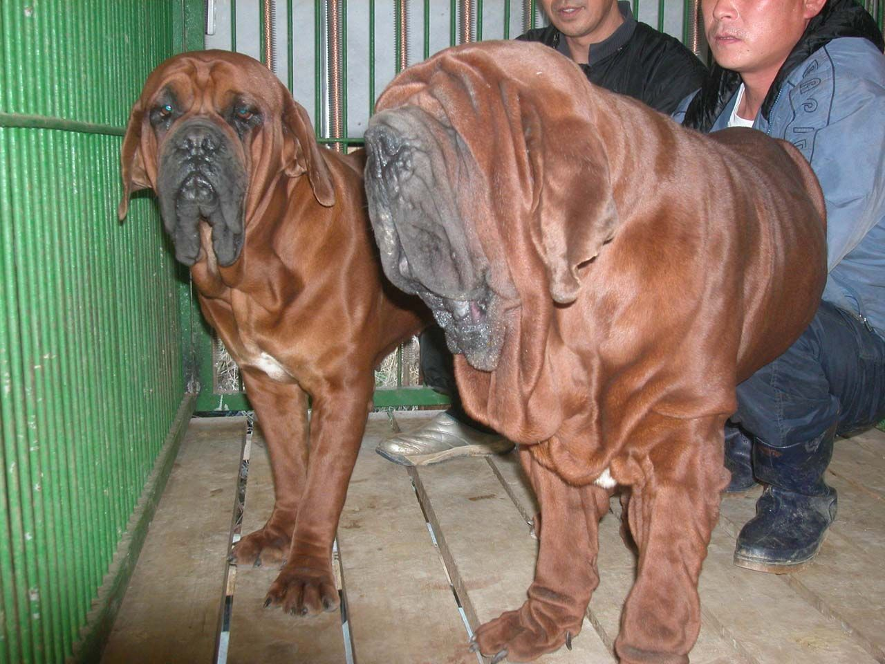 Red Dragon Kennels Korean Mastiff Dosa And Tosa Inu Breeders