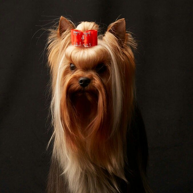 Yorkshire Terrier Dogs Pinterest Dogs Westminster Dog Show