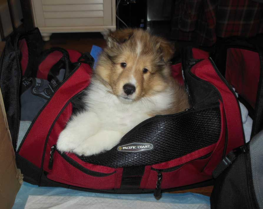 Pin By Ruth Silvers Photographer On 3 Pups Shetland Sheepdog