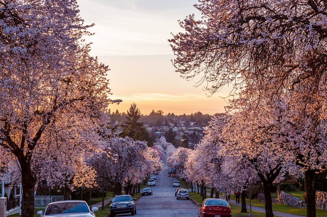 Cherry Blossoms In Early March Line An East Vancouver Street Creating A Beautiful Pink Glow Vancouver Photos Cherry Blossom Vancouver