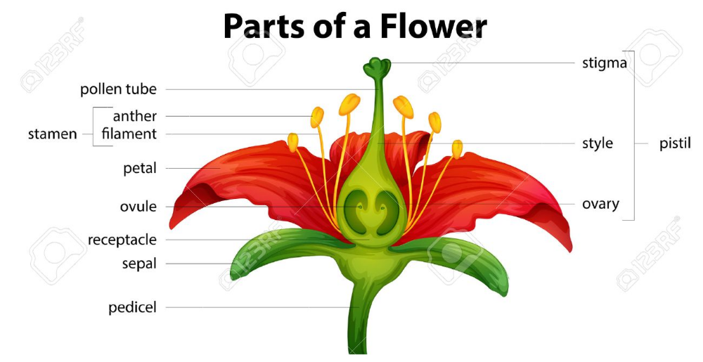 Stock Vector Parts of a flower, Flower structure, Flower