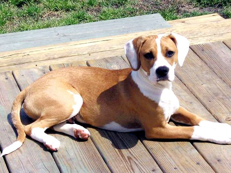Beagle Pitbull Mix Temperament Boxer Beagle Mix Beagle Mix