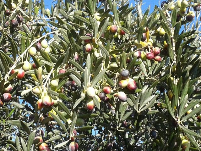 Olivo en Extremadura
