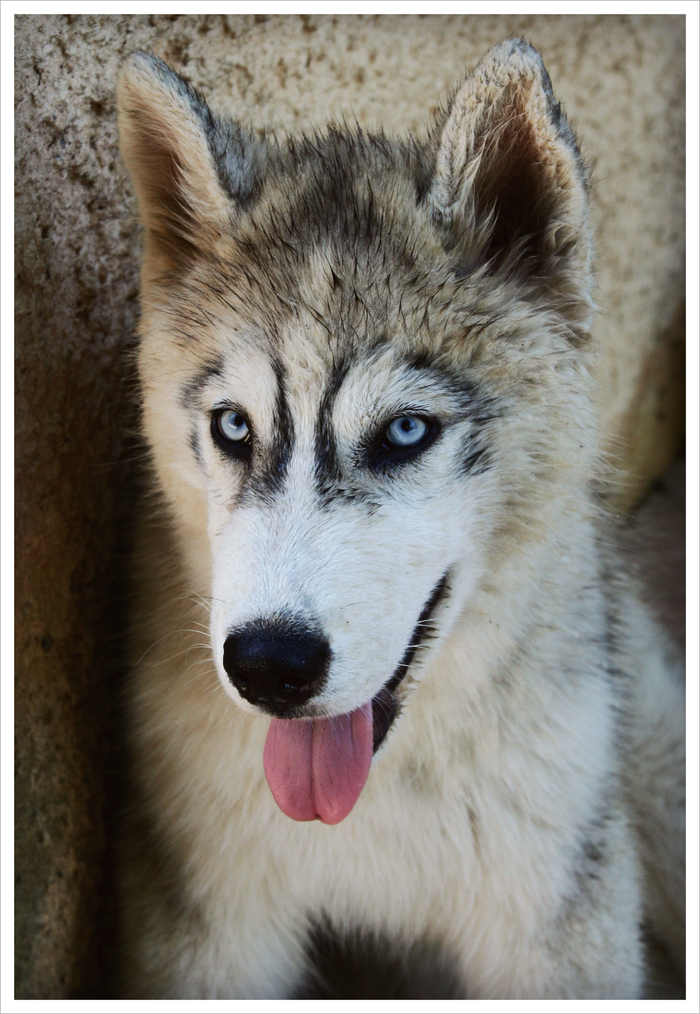 Discover Lou on Yummypets.com #cute #baby #pup #puppy #animal #pet #dog #husky