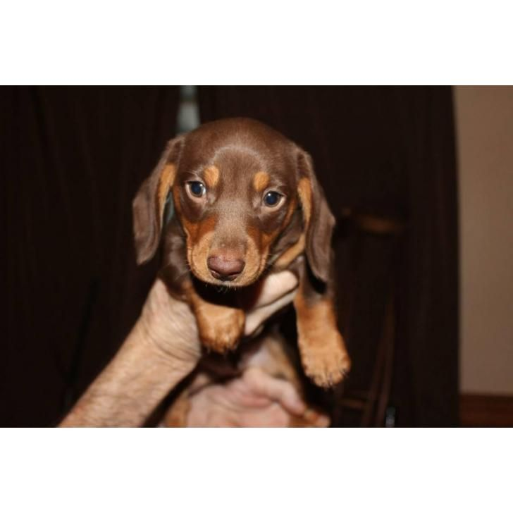 Ckc Registered Chocolate Dachshund Puppy For Sale Dachshund Puppies For Sale Dachshund Puppies Dachshund Puppy Funny