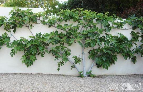 Fig Tree Landscaperesource Com Fig Tree Fruit Trees Espalier Fruit Trees