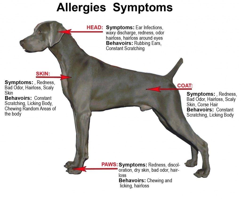 Allergy Symptoms In Dogs Www Sosarl Org Dog Food Allergies