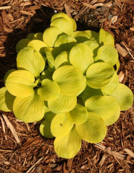 Hosta Sun Mouse Walters Plants Hosta Plants Plants