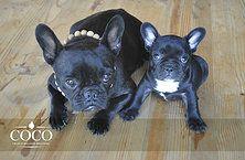 Coco French Bulldog Breeders South Africa French Bulldog