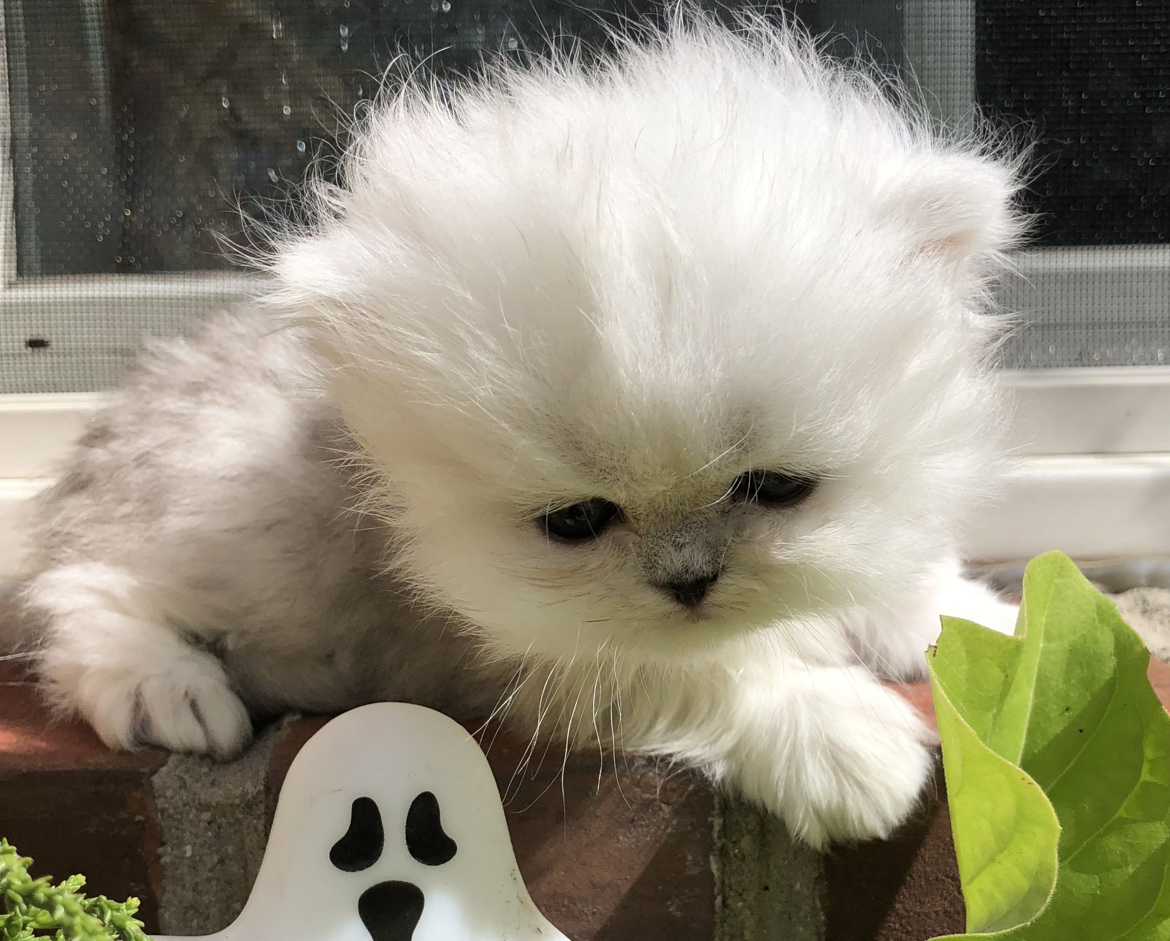 We Have Kittens Available Silver And Himalayan Persian Kittens Ready To Go Cat Having Kittens Persian Cat Gorgeous Cats