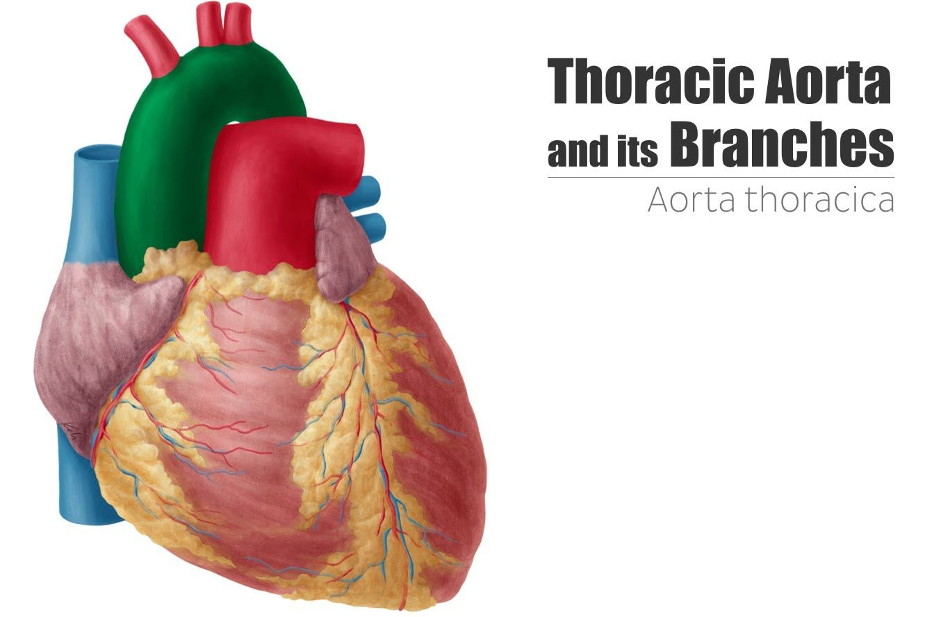 Thoracic (Descending) Aorta - Anatomy and its Branches   Kenhub ...