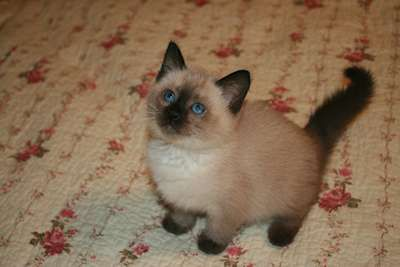 Kittens For Adoption Kitten And Cat Classifieds Balinese