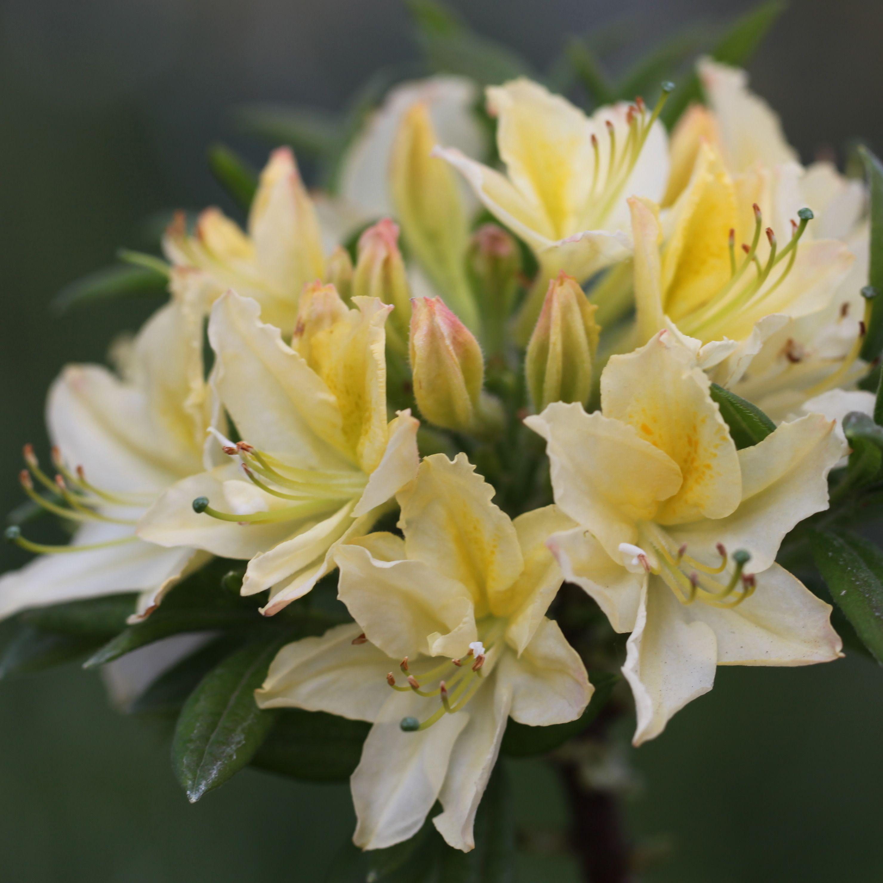 Deciduous Azalea Rhs Azaleas Garden Shrubs Rhododendron
