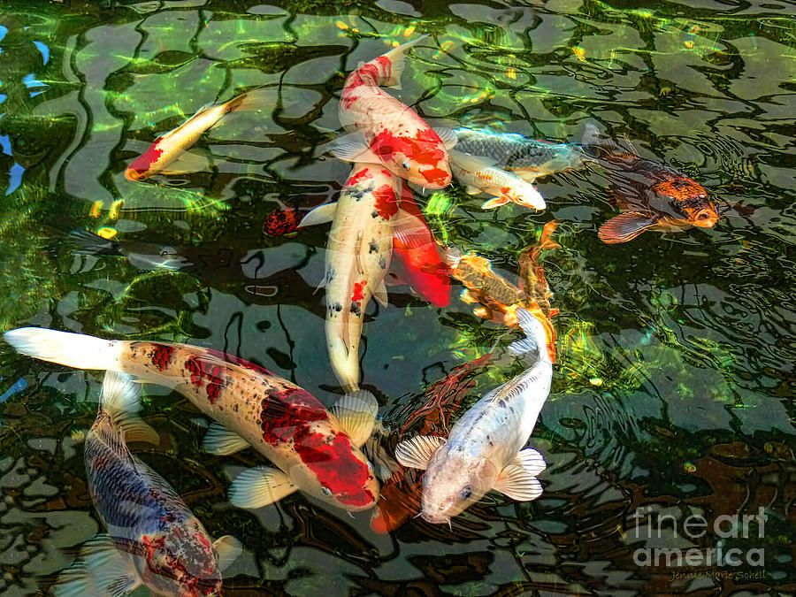 Japanese Koi Fish Pond Fish Drawings Koi Fish Pond And