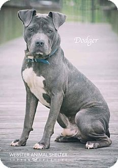 Pin On Pit Bull Terrier Mix