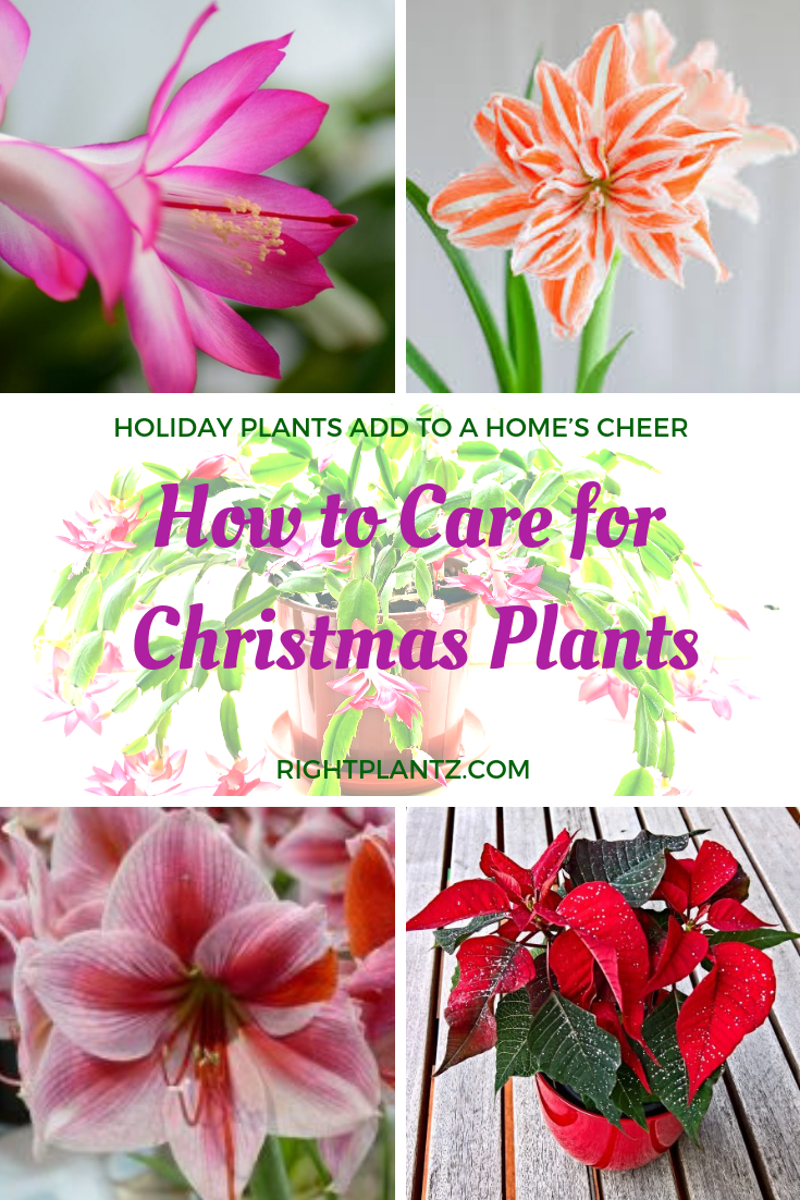 How To Care For Holiday Plants I Rightplantz Com Christmas Plants Flower Pot Design Plants
