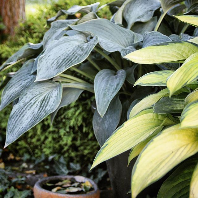 WEBSTA @ c.knekta - Hosta / funkia may be the most useful flower!#hosta #funkia #trädgård #garden #minträdgård #mygarden #visby #gotland