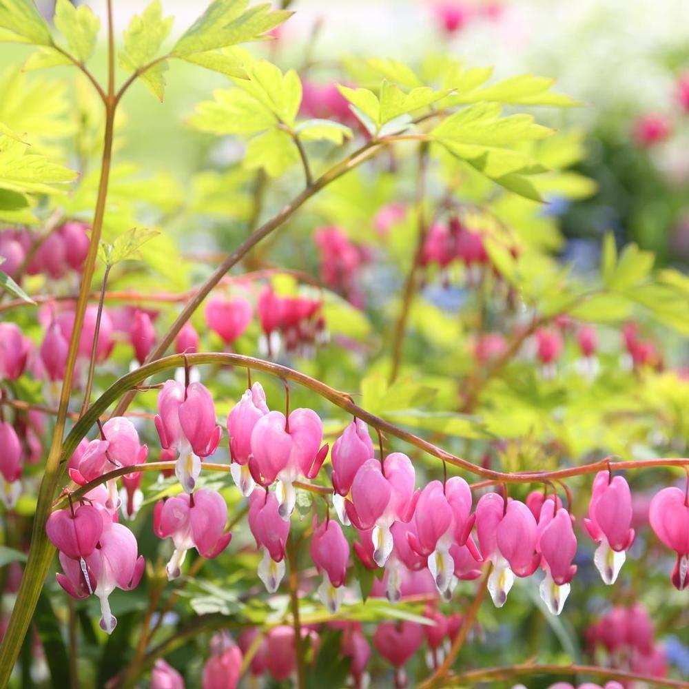 Dicentra Spectabilis Longfield Gardens Flower Garden Shade Plants Spring Garden