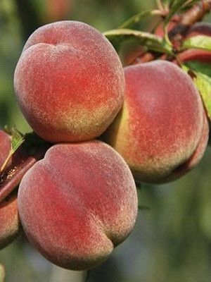 Peach Trees Harvester Peach Trees Fruit Trees For Sale Fruit