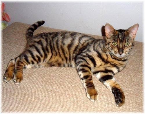 Tiger House Cat Cross Chat Leopard Races De Chats Beaux Chats