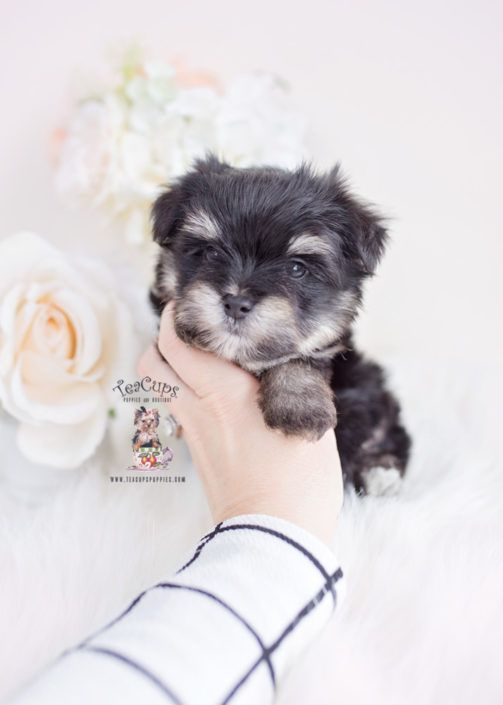 Stunning Red TEACUP Morkie Dustin ♥♥♥ Call Us Now To Bring