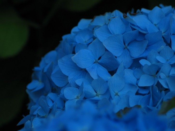 Blue Flowers Names And Pictures Blue Hydrangea Flower Close Up Public Domain Image Picture In G Most Popular Flowers Blue Hydrangea Flowers Blue Flower Names