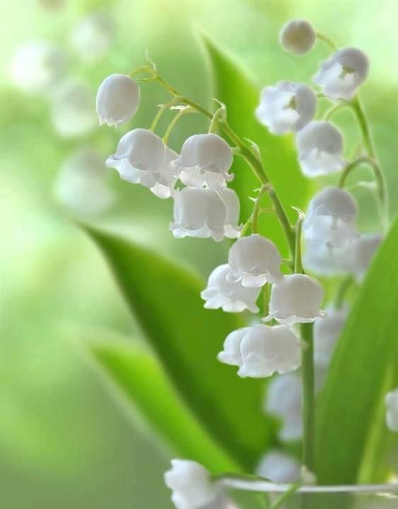 Convallaria Lily Of The Valley Petaldriven Com Lily Of The Valley Flowers Lily Of The Valley Valley Flowers