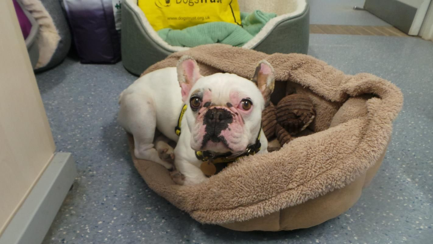 Adopt A Dog Bunia Bulldog French Dogs Trust Dogs Rehoming Dogs Trust