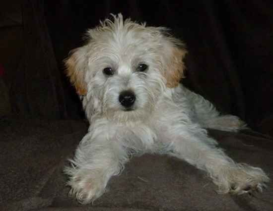 Breed Cairnoodle Cairn Terrier Poodle Posted 7 15 2011 Rating