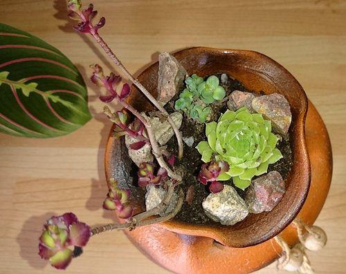 Sempervivum Olivia mini garden terracotta pot | by vanyaalex