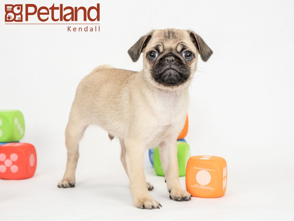 Petland Florida Has Pug Puppies For Sale Interested In Finding