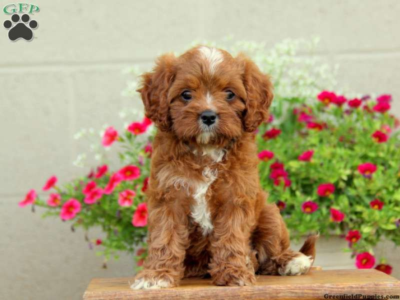 Chloe Cavapoo Puppy For Sale From Leola Pa Cavapoo Puppies