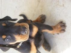 Doberman Pinscher Puppy For Sale In Fruitland Park Fl Adn 43307