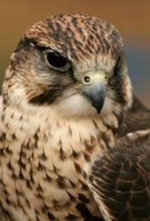 West Coast Falconry (NorCal) - hawk walks & other cool birds of prey courses & events