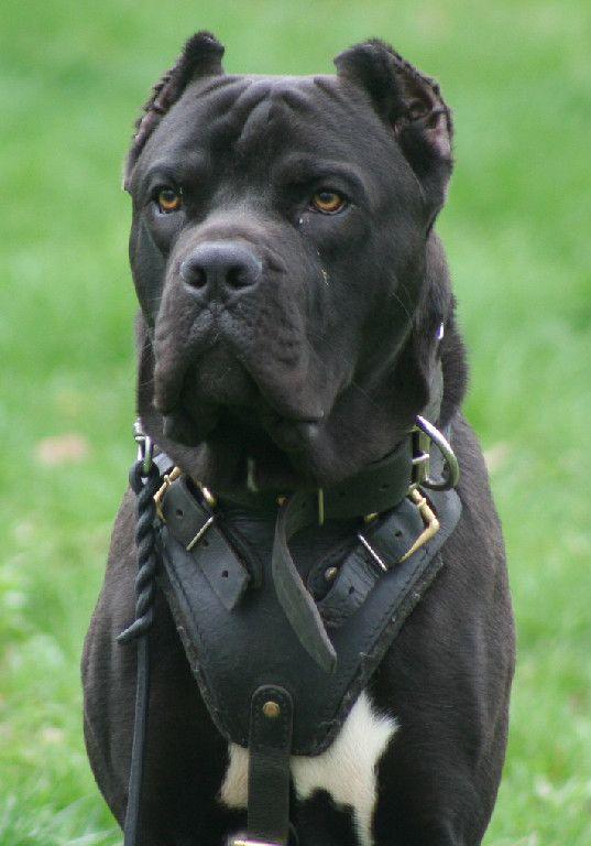 Nj Breeder Cane Corso New Puppy Dogs