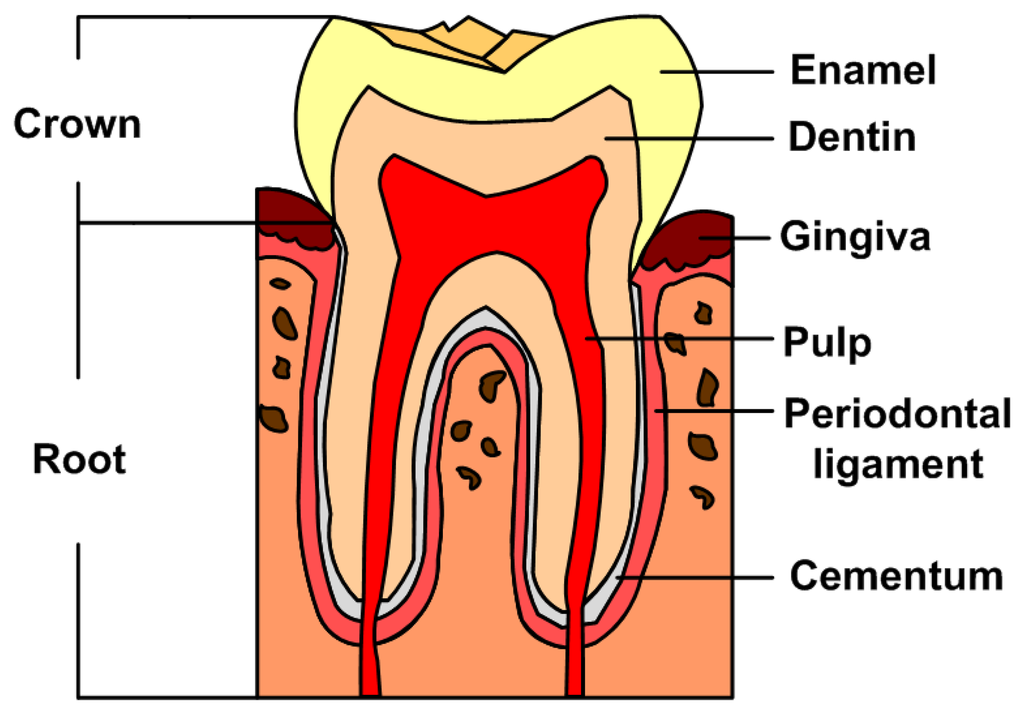 What Parts Make Up The Structure Of A Tooth The Structure Of A Tooth Consists Of Four Main Parts Enamel Dentin Pulp And Ceme Teeth Diagram Teeth Dentistry