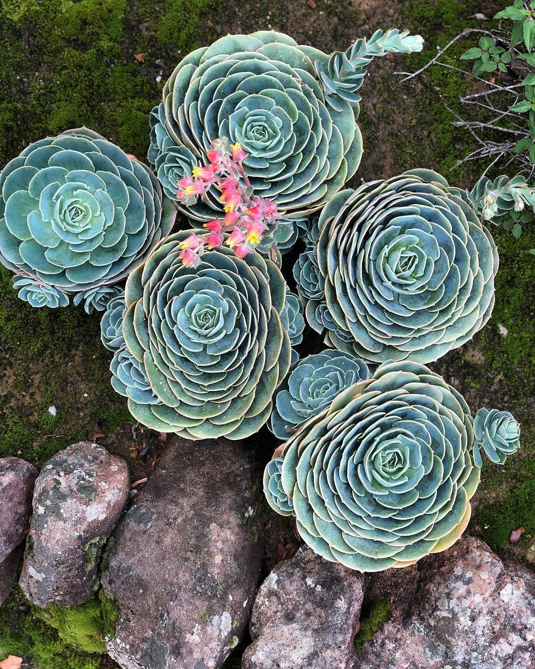 Just Look At Those Perfect Rosettes This Is An Old Picture These Beauties Have Since Been Planted In Their Own Pots Echeveria Echeveria Imbricata Blue Rose