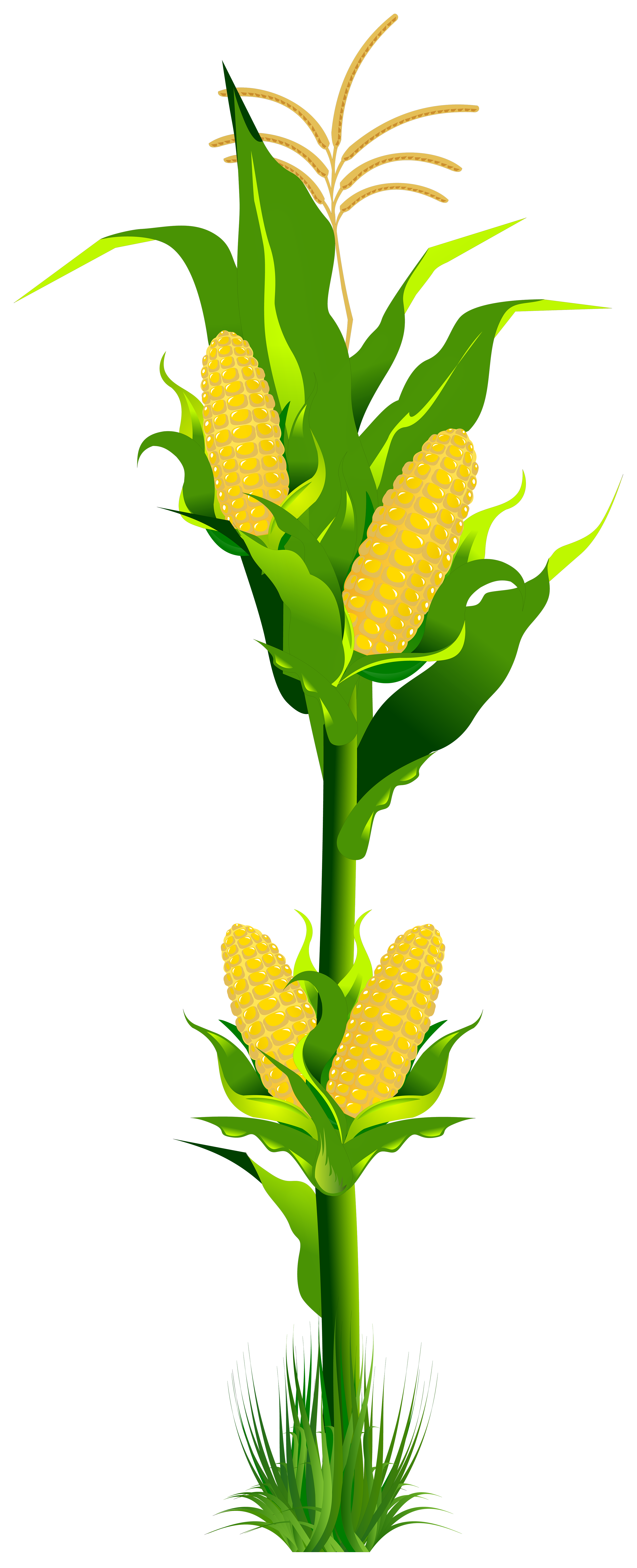 Corn Plant Png Clipart Gallery Yopriceville High Quality Images And Transparent Png Free Clipart Corn Plant Clip Art Plants