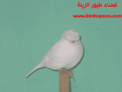كناري الجلوستر Release Dove Bird